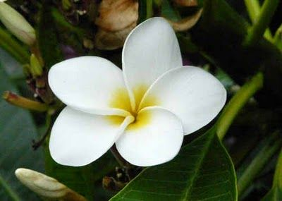 Plumeria My All Time Favorite Blossom Their Perfume Is So Delicate And Sweet In Hawaii There Was A Tree Near Our Ho Wholesale Flowers Flower Guide Plumeria