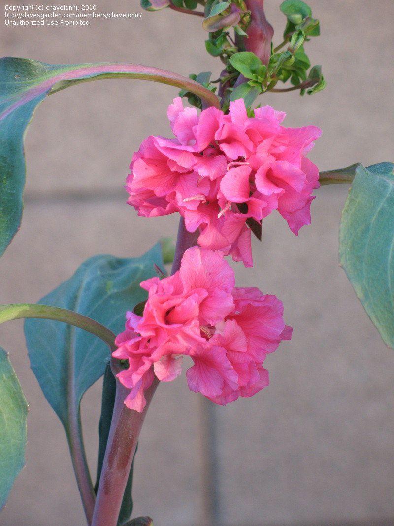 Plantfiles Pictures Clarkia Garland Flower Mountain Garland Clarkia Unguiculata By Ladyannne Flowers California Native Plants Garland