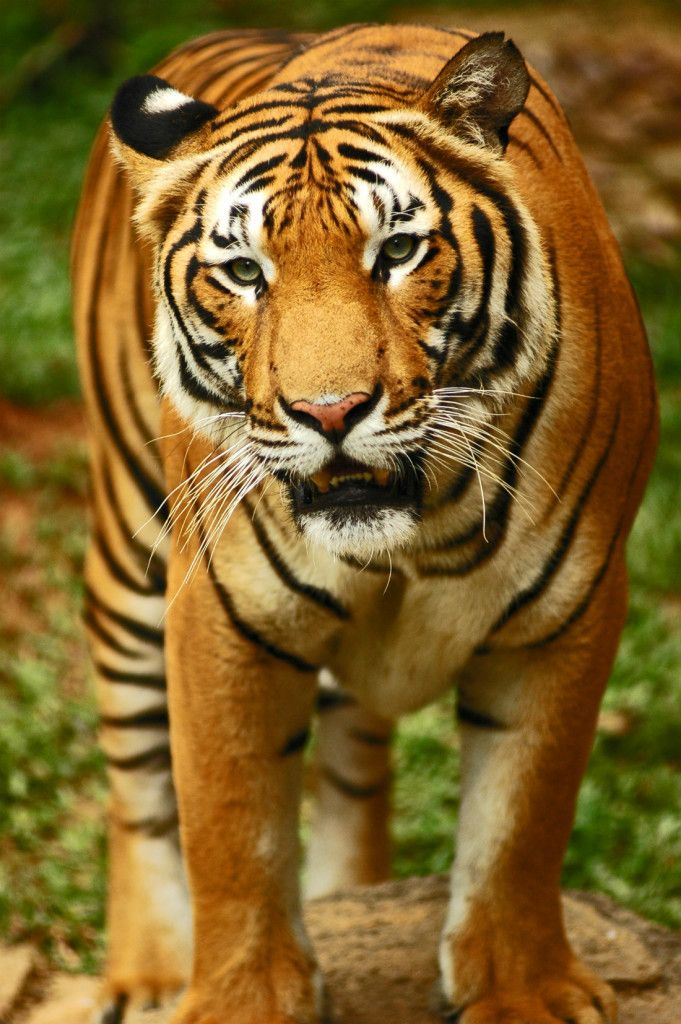 Tiger Facts Kidspressmagazine Com Tiger Facts Animal Facts For Kids Fun Facts About Animals