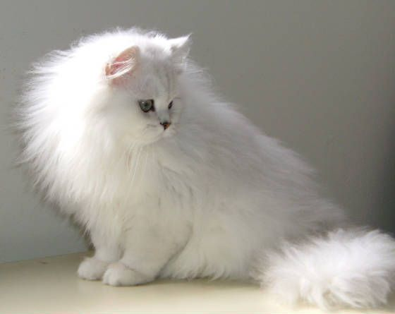 If Amelia Was A Cat She Would Be A White Chinchilla In Contrast To Loki Persian Kittens Persian Cat White Persian Cat