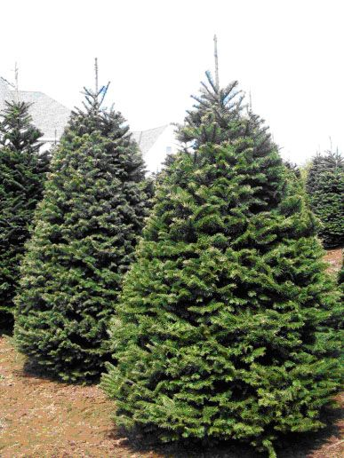 Oregon Christmas Tree Growers Association Founded Over 20 Years Ago Has Always Been An Independent Grower Network Providing Fresh Quality Christmas Tr Arboles