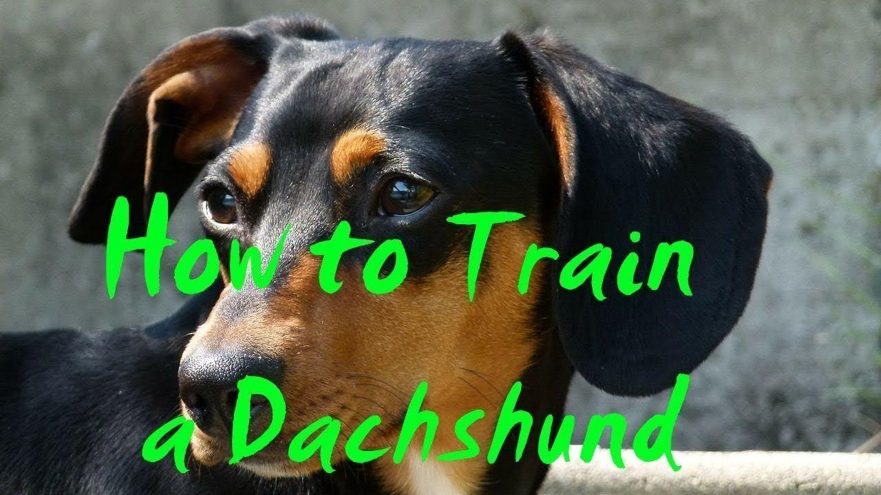 How To Train A Dachshund How To Potty Train A Dachshund Puppy