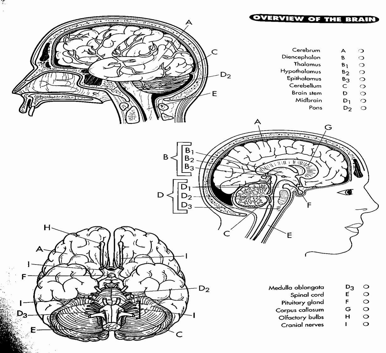 Human Brain Coloring Book Fresh Brain Diagram Coloring Page Sketch Coloring Page Anatomy Coloring Book Color Worksheets Integumentary System