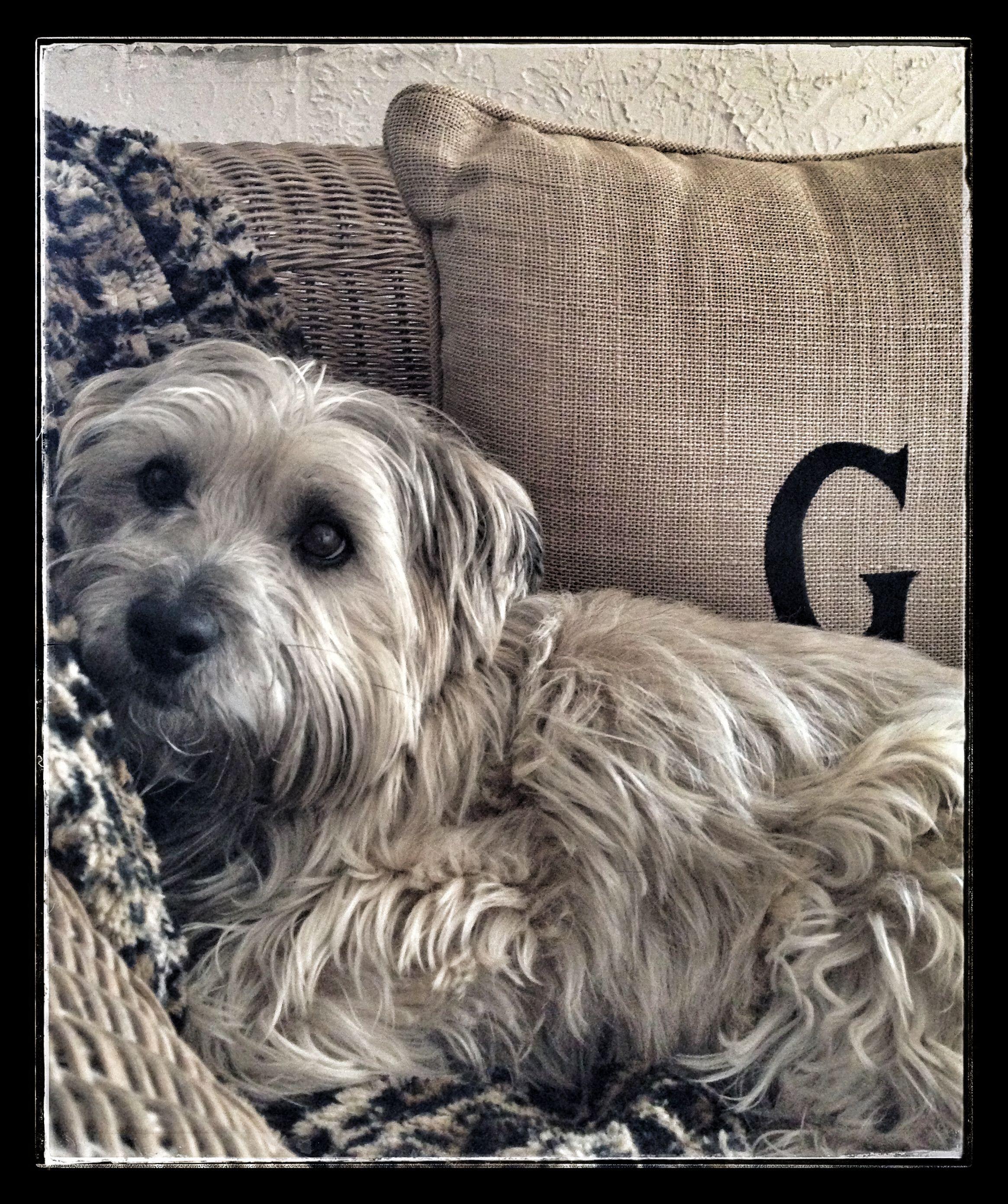 My Cute Cairn Terrier Captain Jack Dog Lovers Cairn Terrier