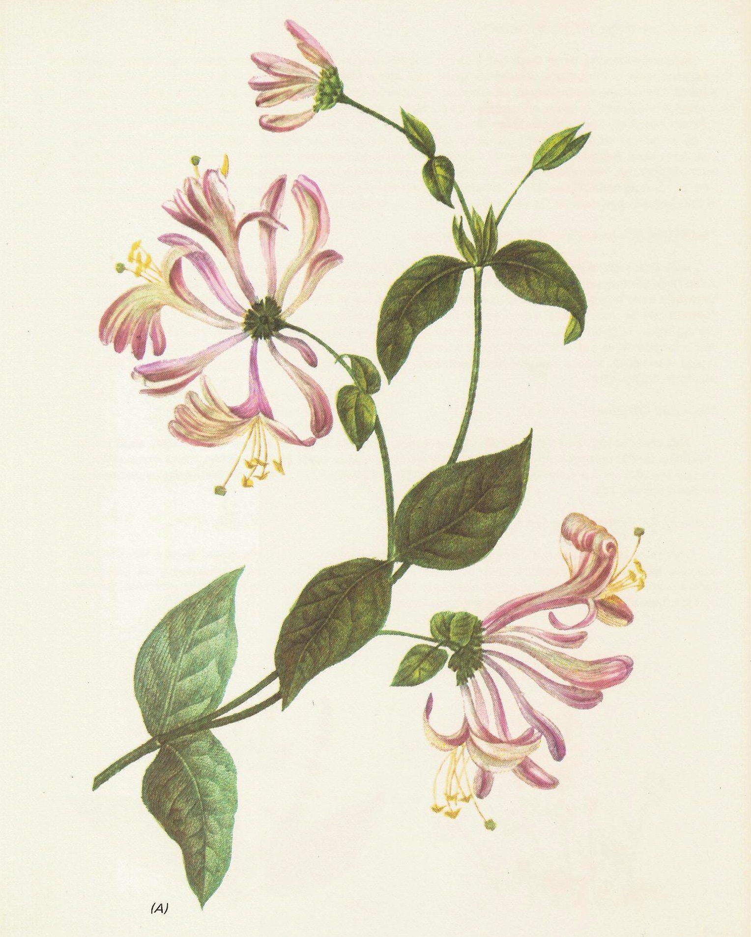 Flowers Plants Botany Vintage Retro Paintings Drawings Books Honeysuckle Tattoo Flower Drawing Botanical Drawings