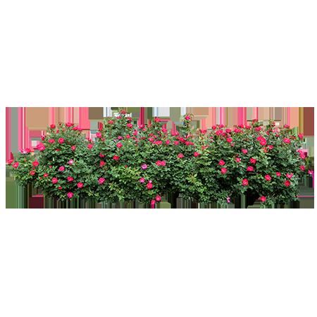 Rose Bush - Immediate Entourage