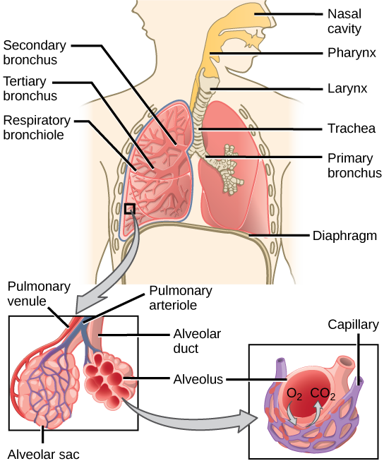 Diagram Labeling The Major Structures Of The Respiratory System Respiratory System Human Respiratory System Respiratory System Anatomy
