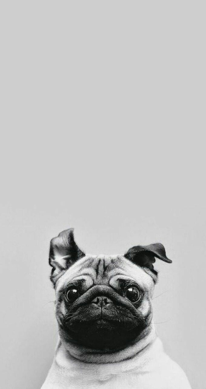 Pug-wallpaper-iphone.jpg 680×1.283 piksel
