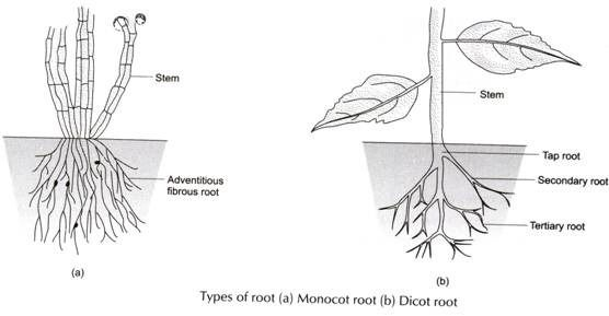 Types of Root (a) Monocot Root (b) Dicot Root ...