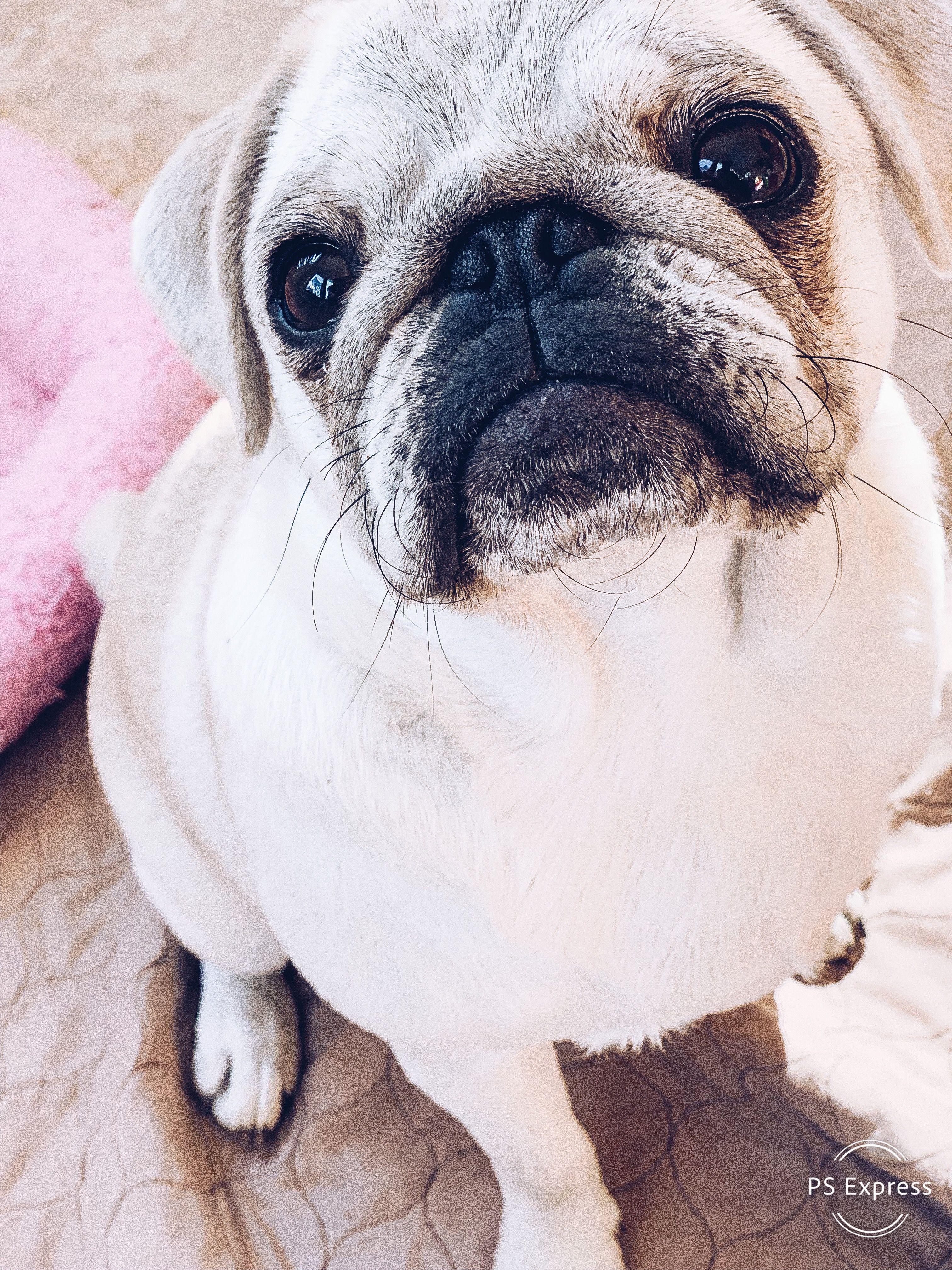 Pin By Nana Covington On Pugs Pugs And More Pugs Little Pets
