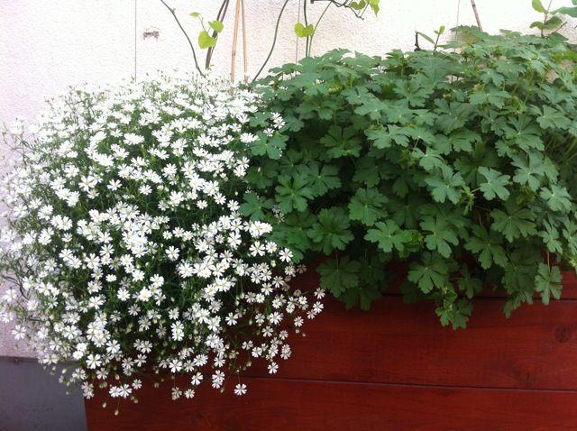 Stellaria holstea in bloom and hardy geranium gro e for Halbschattige balkonpflanzen