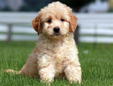 Top 10 Most Popular Mixed Dog Breeds Goldendoodle Golden Retriever Poodle Mix Dog Breeds
