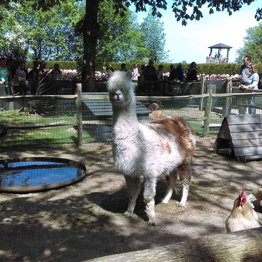 Little guy is photo bombing the Llama  by moniquedecloedt