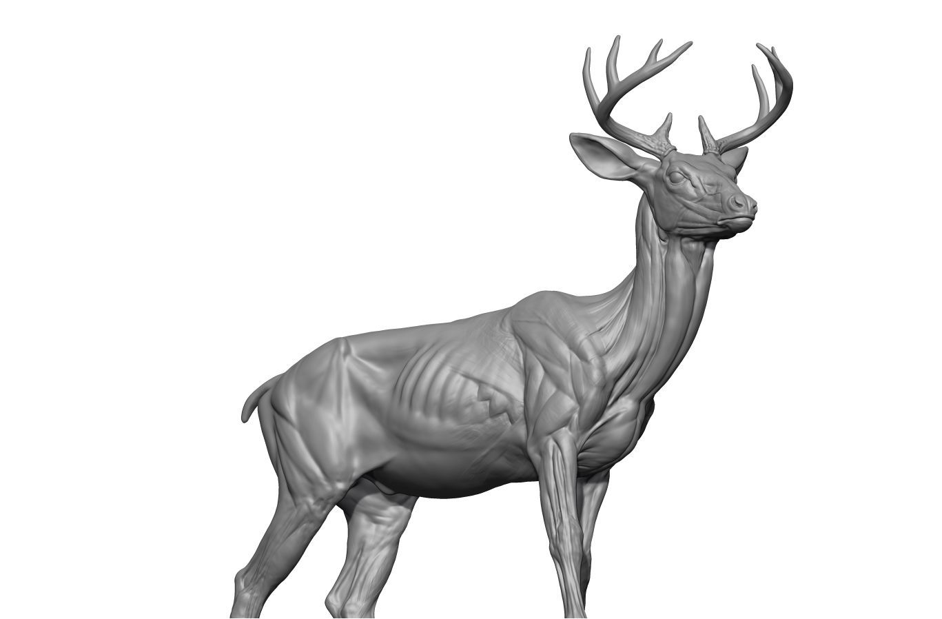 DEER_RENDER2.jpg | Deer-Stag | Pinterest | Anatomy, Animal anatomy ...