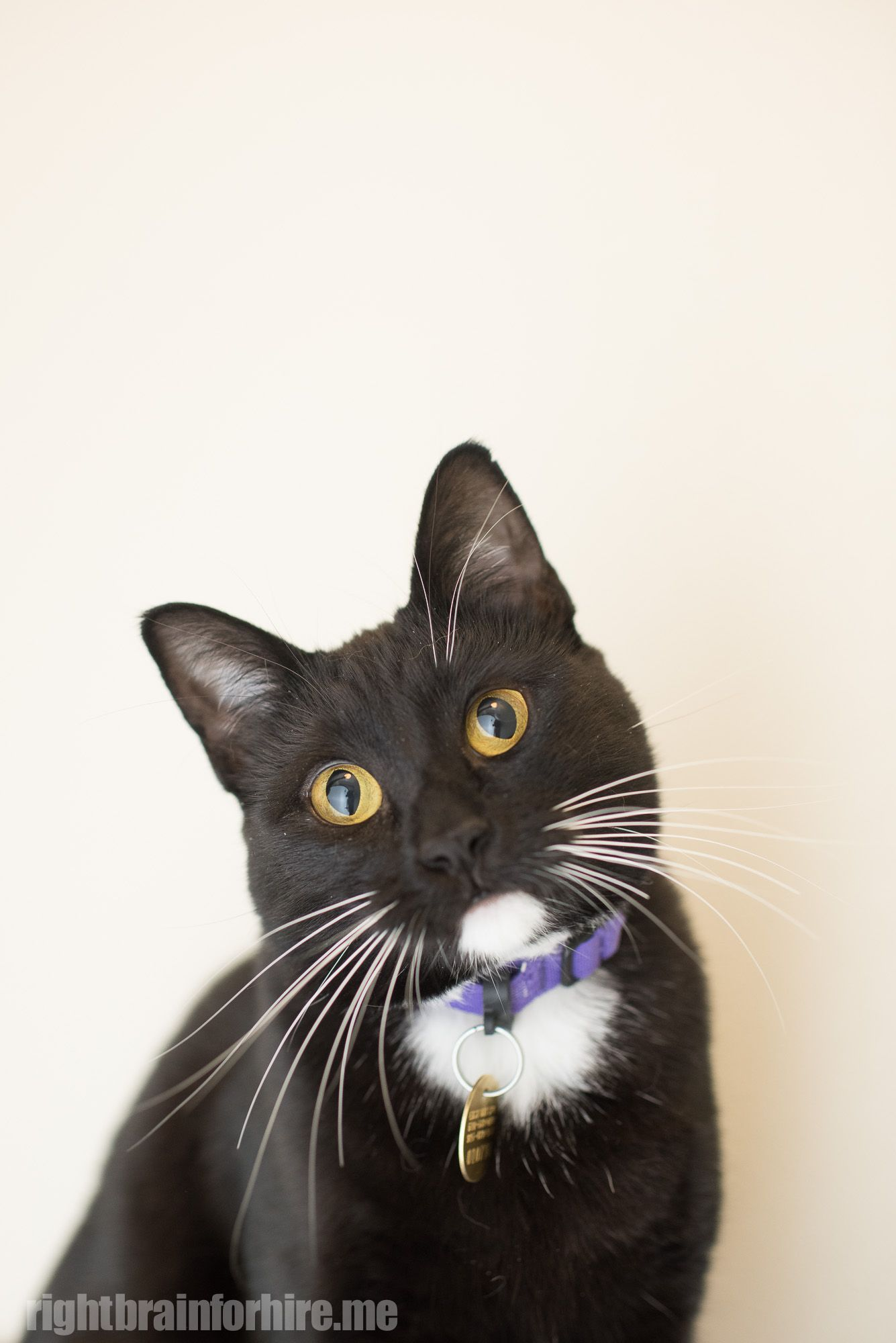 I Found This Pet On Lostfound Rspcaqld Org Au Cat Adoption Cats Spca
