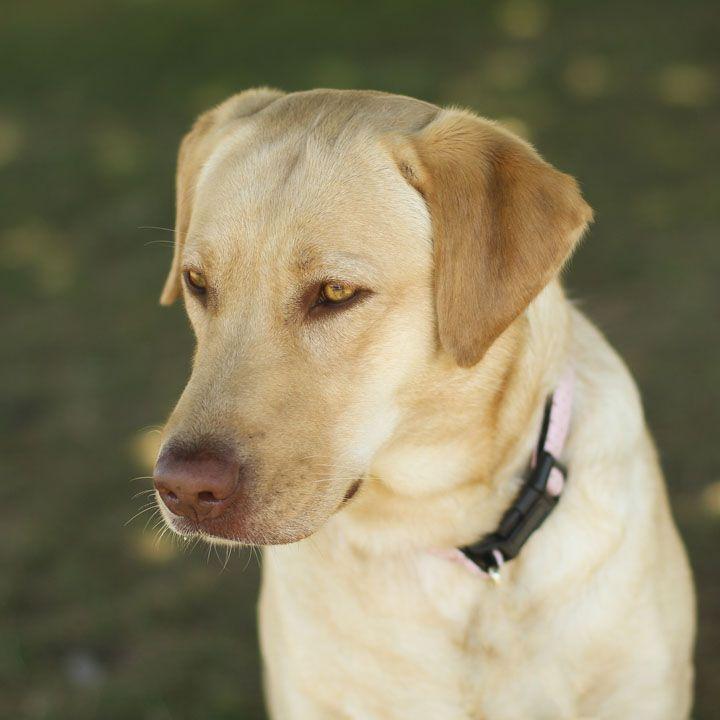 Unnamed Yellow Labrador Retriever With Images Labrador