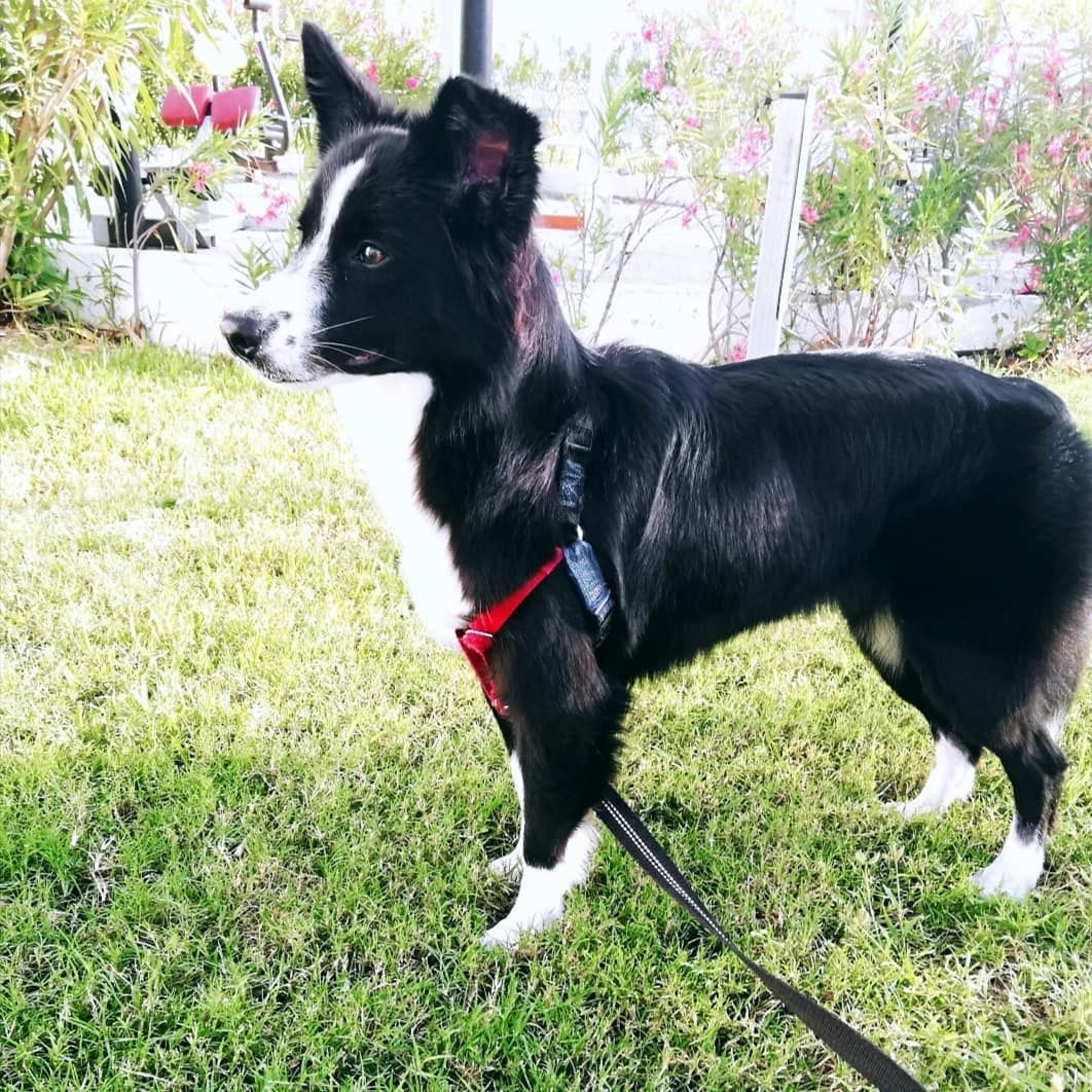 Get 3d Border Collie For Free With Images Border Collie