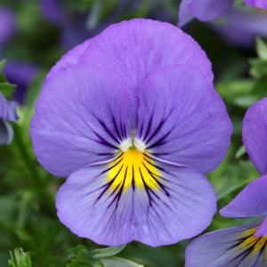 How To Grow Pansies See Our Helpful Tips On Planting Deadheading Fertilizing To Grow Your Best Pansies Plus Pansies Pansies Flowers Fall Garden Checklist