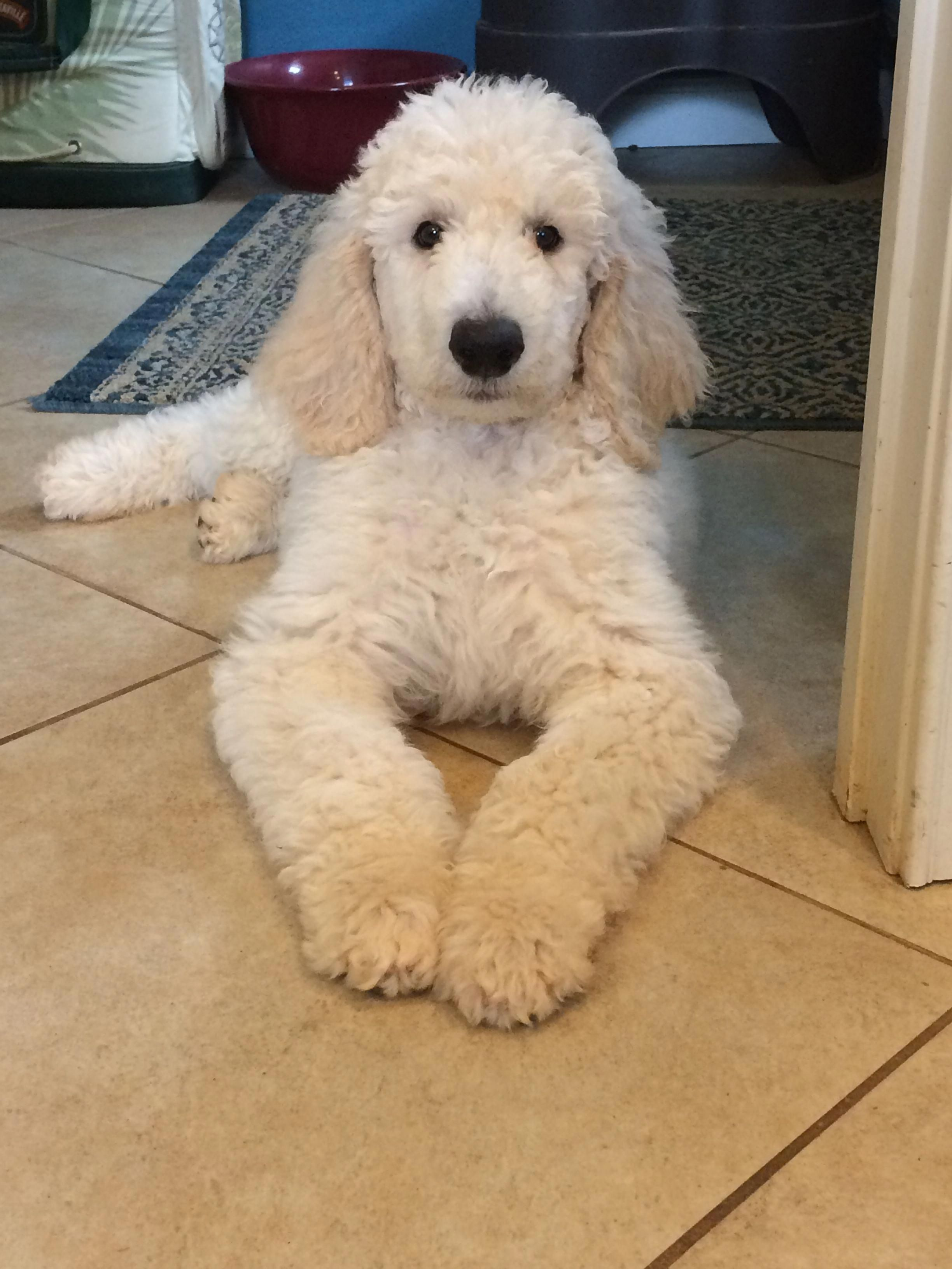 Explore Our Website For Additional Info On Poodles It Is