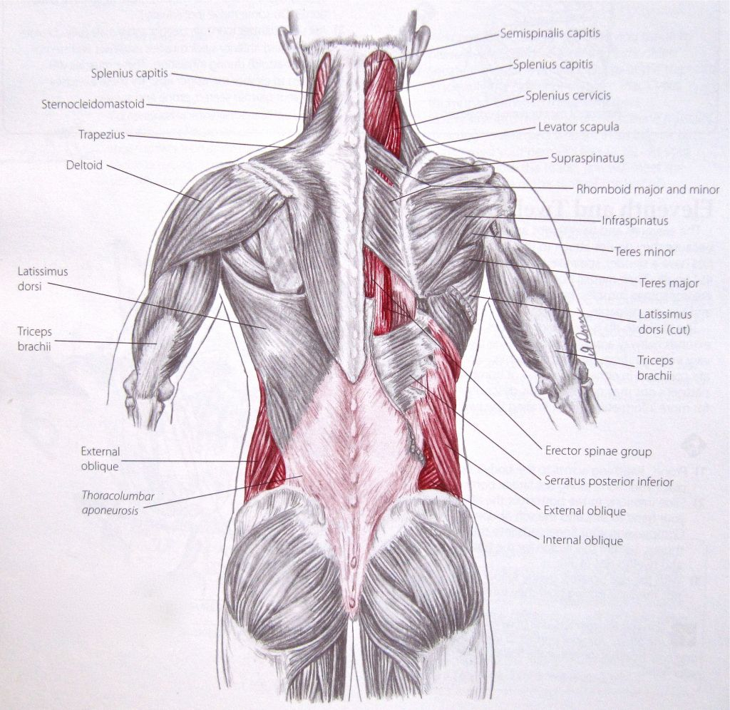 Oblique Muscle Anatomy - See more about Oblique Muscle Anatomy ...