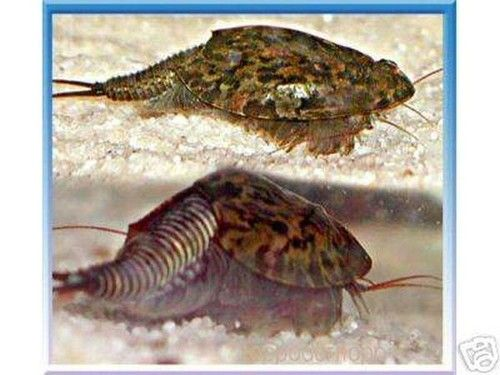 The King Of Triops T Cancriformis Grows 45 Inches