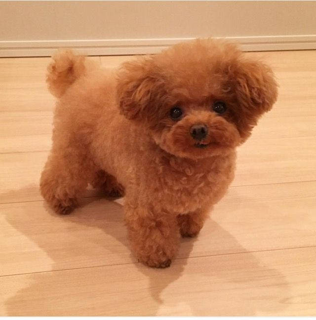 This Is A Teacup Poodle And What I Have