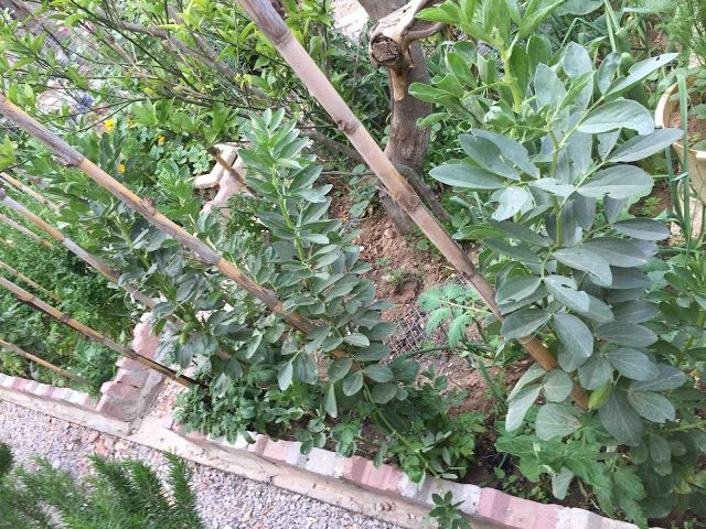 How To Plant Broad Beans With Images Plants Growing 400 x 300