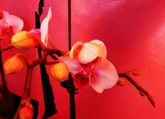 Orchid red composition
