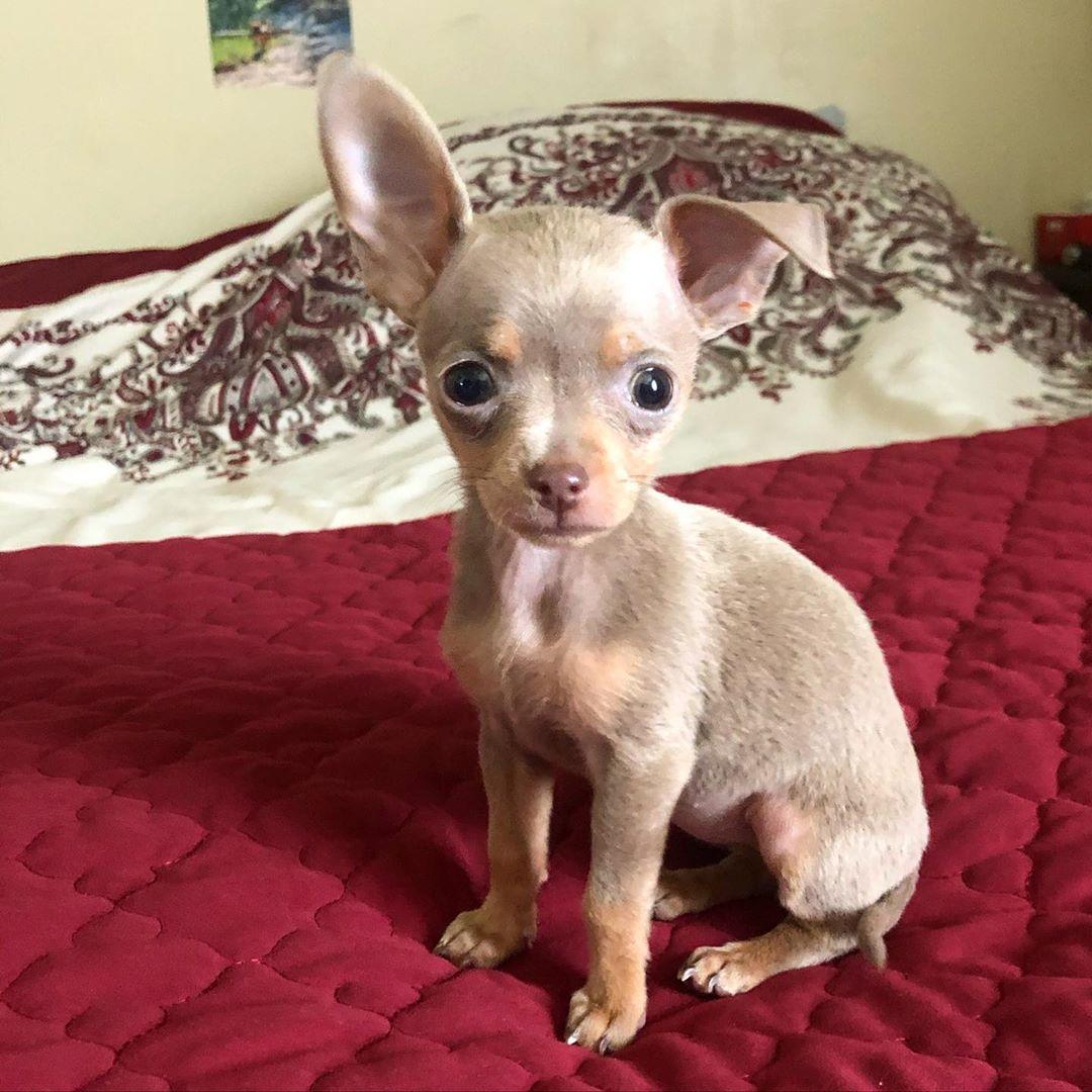 Hi There Chihuahuasofinstagram Chihuahua Chihuahualife Chihuahualove Chihuahualover Chihuahuaaddict Bluebuffal In 2020 Dog Names Best Dog Names Chihuahua