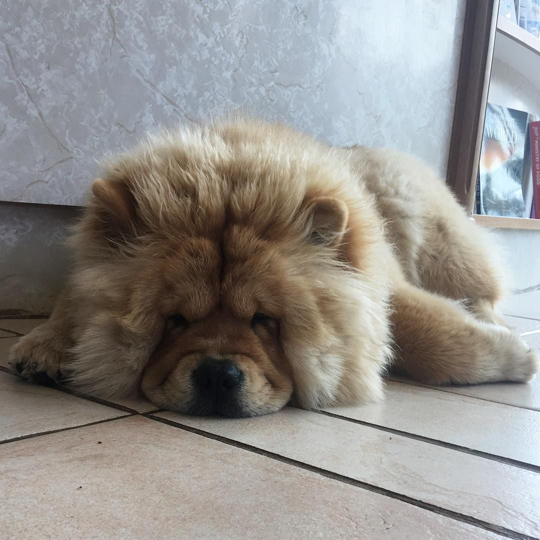 Chow Chow Chowchowdog Chow Chow Puppy Boo The Dog Puppies
