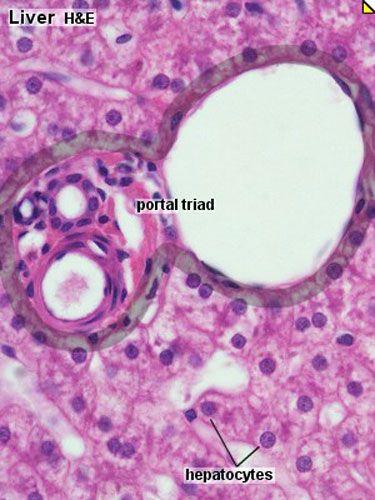 liver histology 003jpg