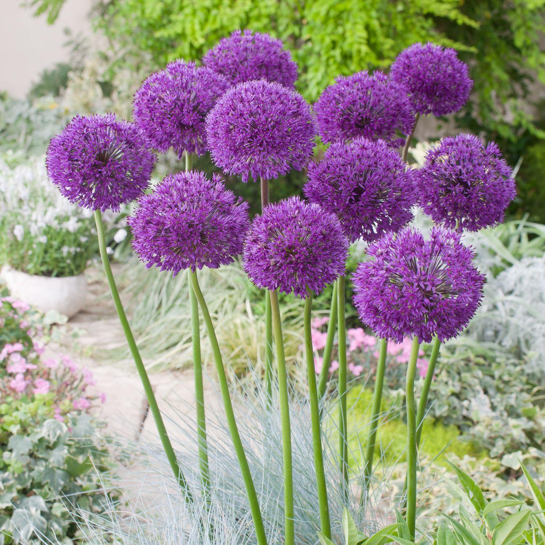 Purple Alium Google Search Bulb Flowers Planting Bulbs Flower Landscape
