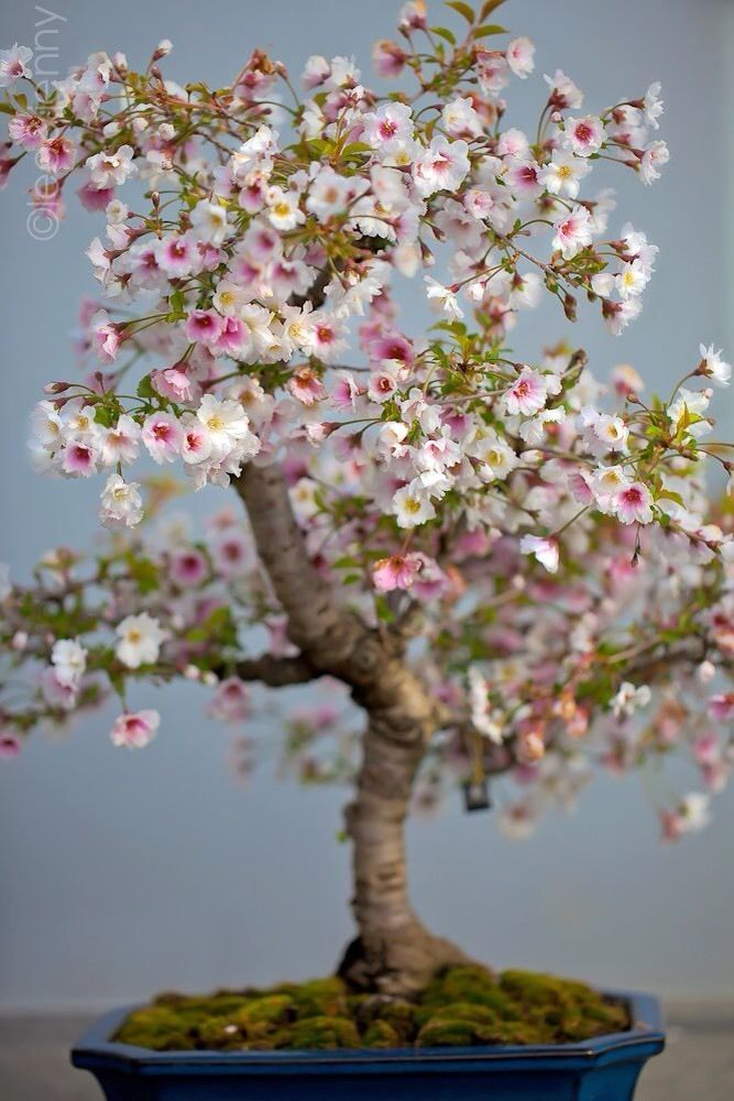 Cherry Tree How To Grow Care Cherry Blossom Bonsai Tree