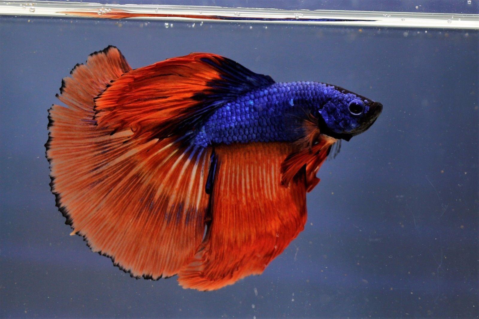 Live Fancy Halfmoon MALE Breeder Butterfly Betta KOI dragon blue red ...