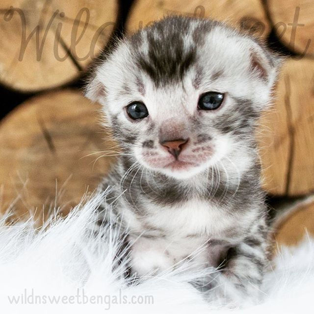 Pretty silver bengal kitten!! More photos of our available kittens and cats at www.wildnsweetbengals.com