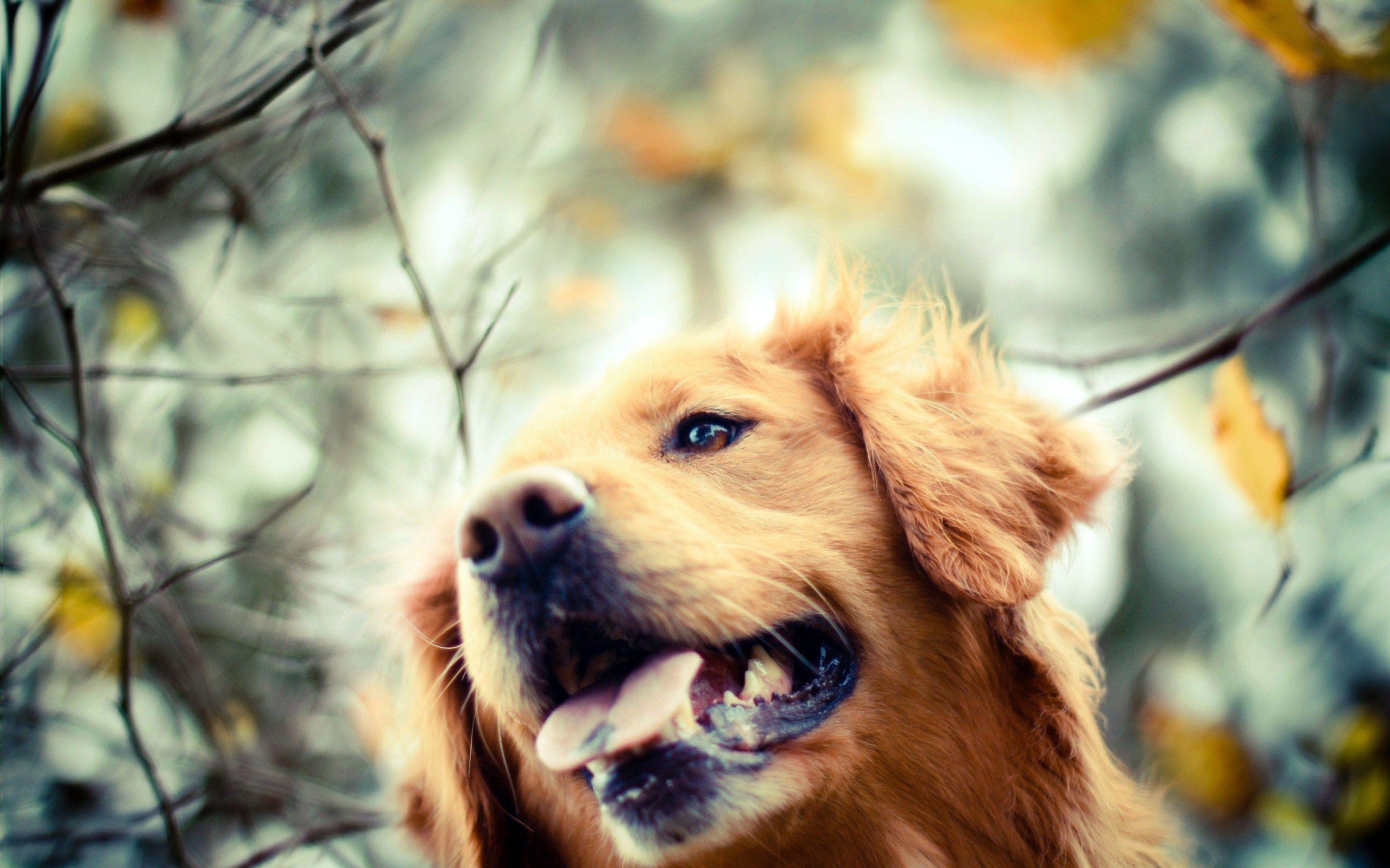 Golden Retriever Dog Autumn Photo Golden Retriever Dogs Golden Retriever Beautiful Dogs