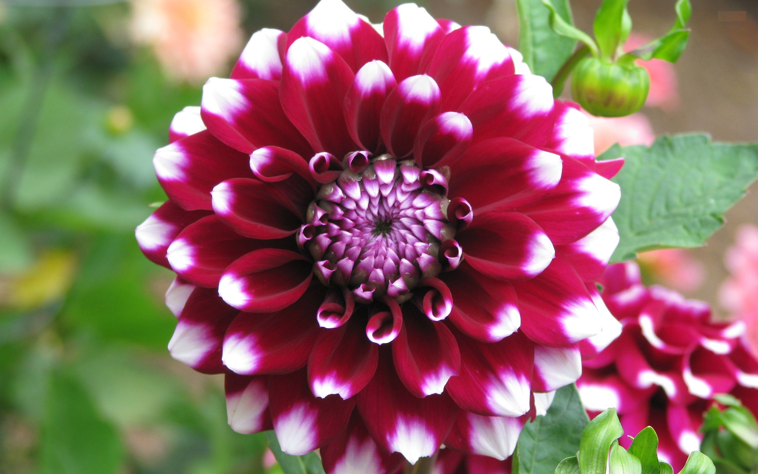 Dahlia Flower Hd Wallpaper Dahlia Flower Images Cool Wallpapers Dahlia Flower Azalea Flower Beautiful Flowers Wallpapers