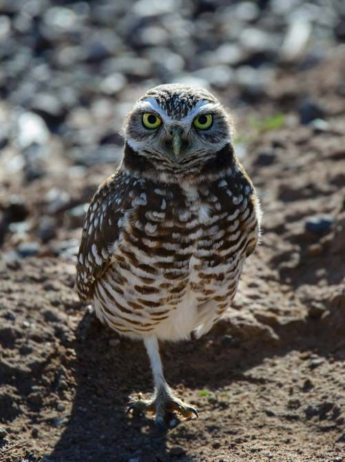 We spent some time hoo-hoo-ing with the burrowing owls of Zanjero Park in Gilbert AZ  http://roadslesstraveled.us/burrowing-owls-zanjero-park-gilbert-arizona/