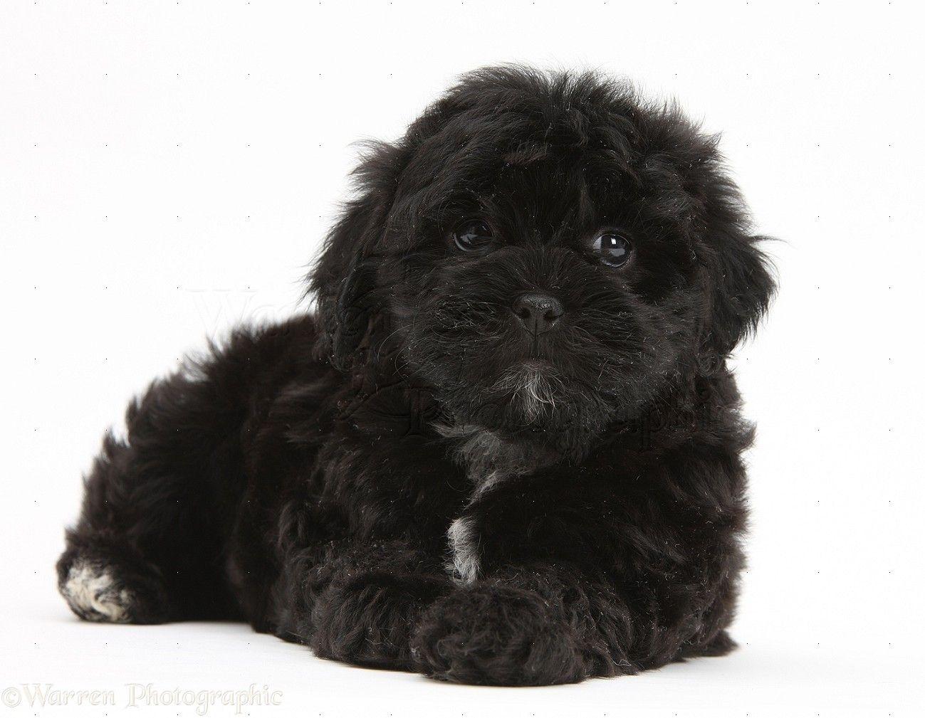 Zoey Our Shipoo Poodle X Shih Tzu Pup Shih Tzu