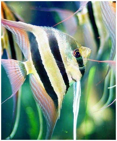 Altum angelfish google search hobbies pinterest for Google fish tank mrdoob