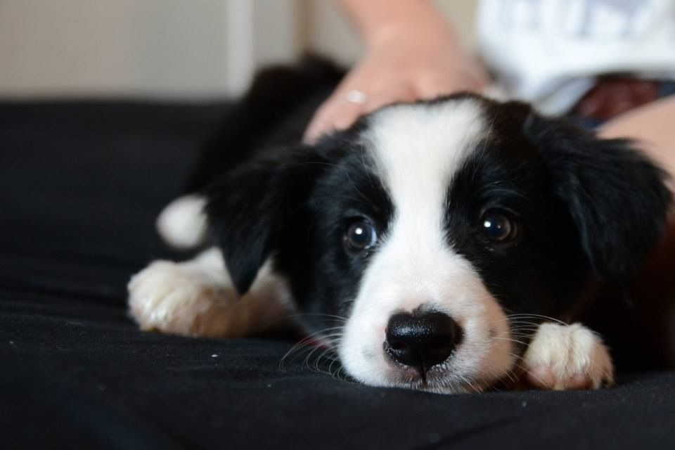 Pin By Melynda Reichel On Beautiful Pups Collie Puppies Border