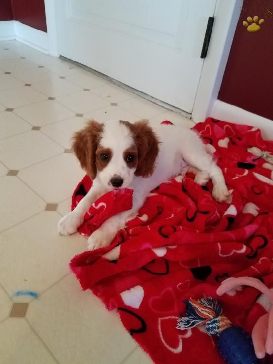 Benjie Cavapoo Puppy For Sale In Reading Pa Lancaster Puppies