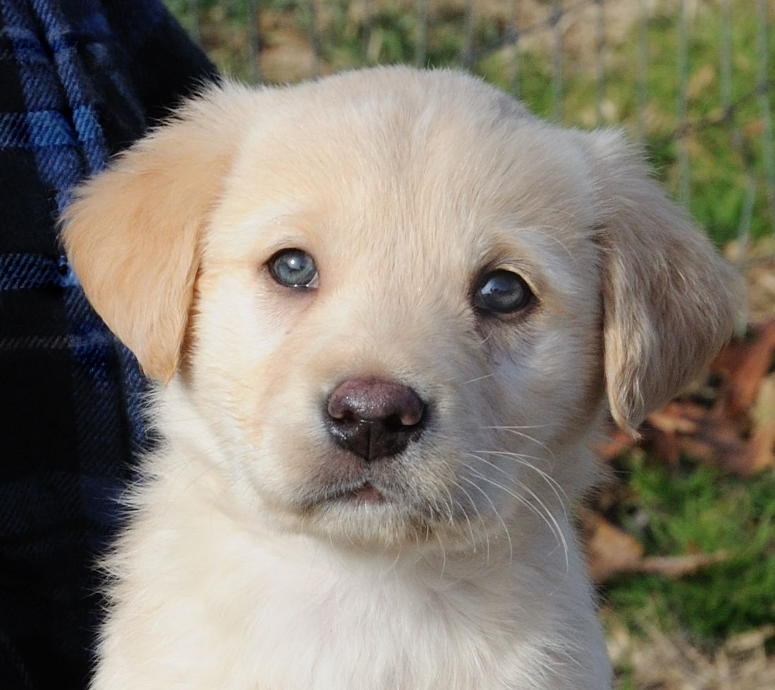 Dasher Puppies Golden Retriever Rescue Puppies With Blue Eyes