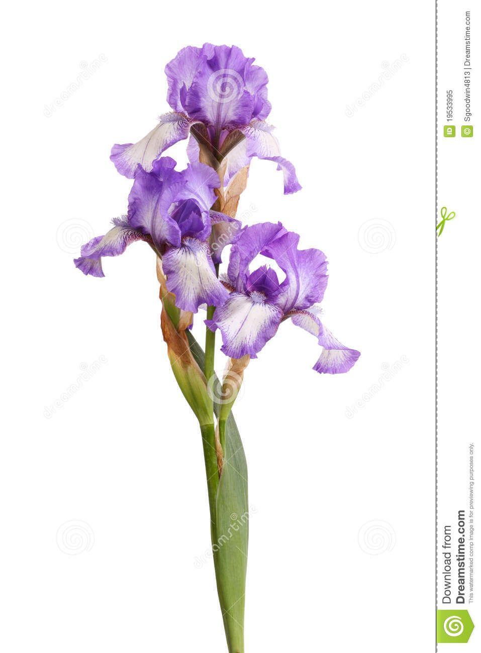 Stem purple iris flowers isolated white 19533995g 9571300 stem of purple iris flowers isolated on white izmirmasajfo Images