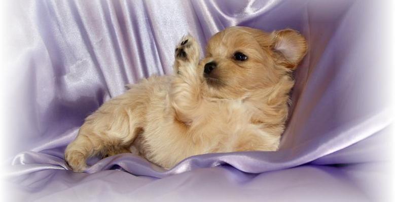 Teenie Tiny Teacups Shih Poo S Toy Poodles Baton Rouge La