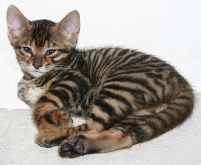 Toyger Race Information