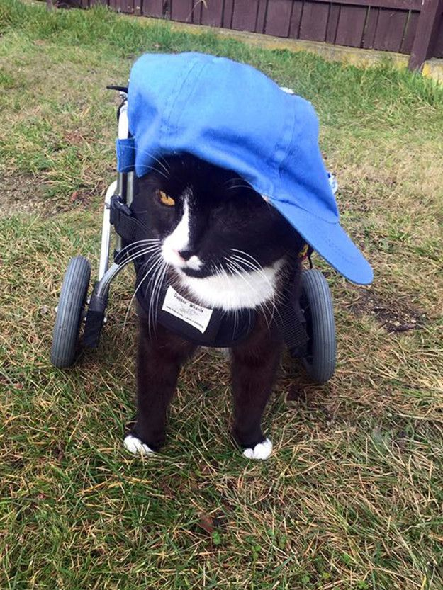 Hello! This is Blacky, and he's probably* the coolest cat you'll ever see in your life. | This One-Eyed Cat In A Wheelchair Is Truly The Role Model We Need Right Now