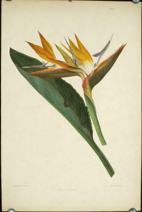 Strelitzia Regina By Madeira Bird Of Paradise On Oldimprints Com Botanical Drawings Birds Of Paradise Botanical Illustration