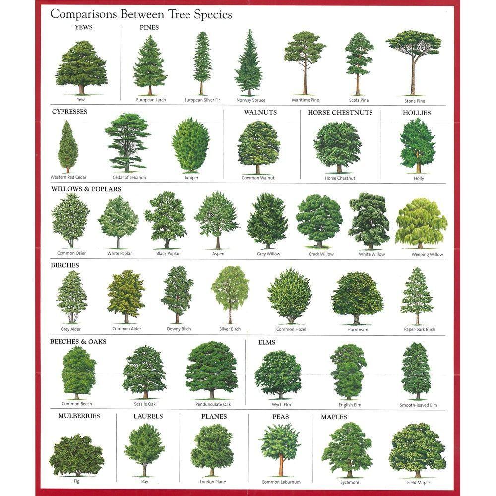Image Result For Alder Tree Identification V Pinterest Tree