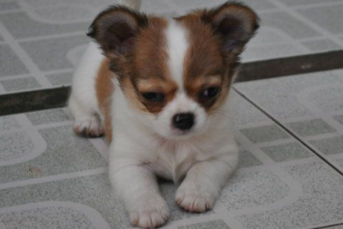 Applehead Chihuahua Puppies Akc Texas Diva Tiny Long And Smooth